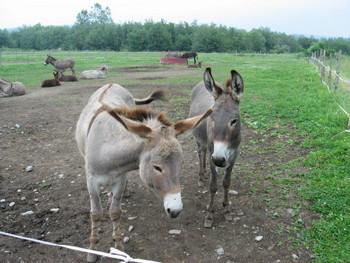 resized-donkey.jpg